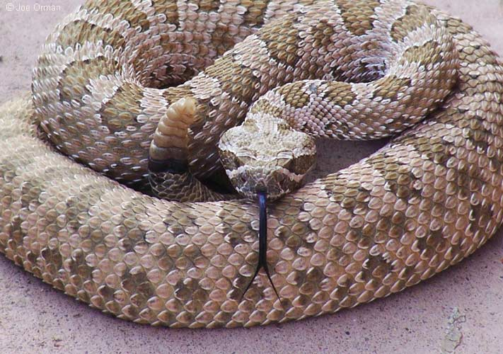 Rattlesnakes In Colorado Map.Snakes Arapahoe County Co Official Website
