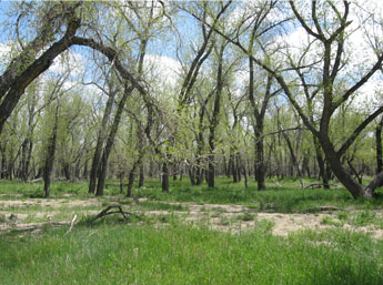 This image is a landscape portrait of trees and other vegetation at Bijou Basin Open Space.